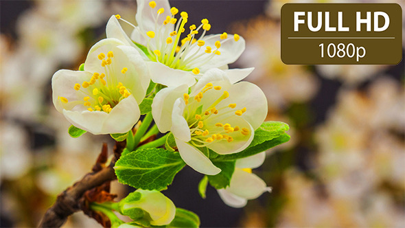 Plum Flower Time Lapse