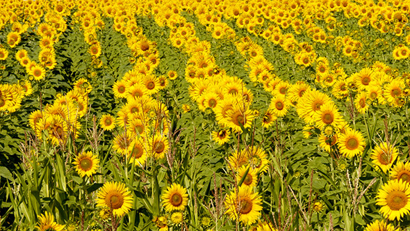 Beautiful Blooming Field Of Sunflowers