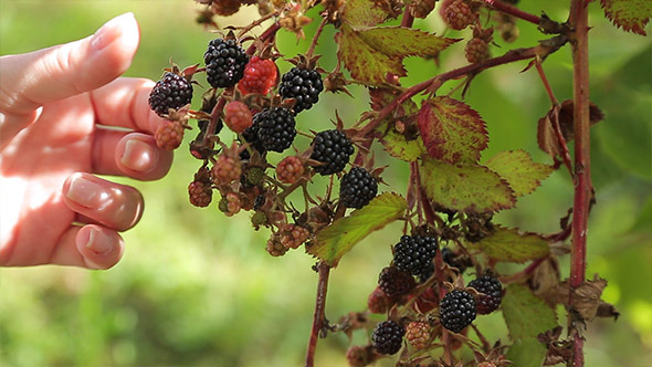 A woman picks blackberries from the Bush