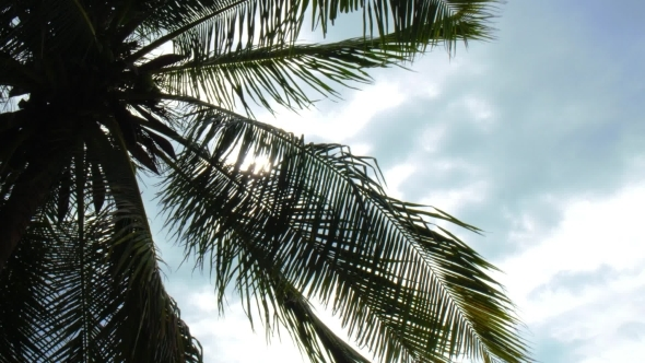 Coconut Palm Tree Leaves Against Blue Sky