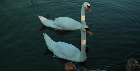 The White Swans